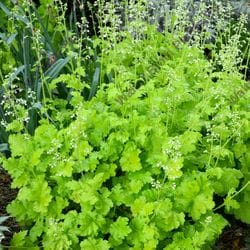 Coral Bells 'Lime Rickey'