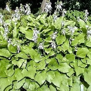 Hosta 'Honey Bells'