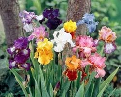 Iris 'Tall Bearded'