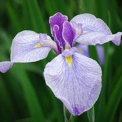 Iris 'Japanese'
