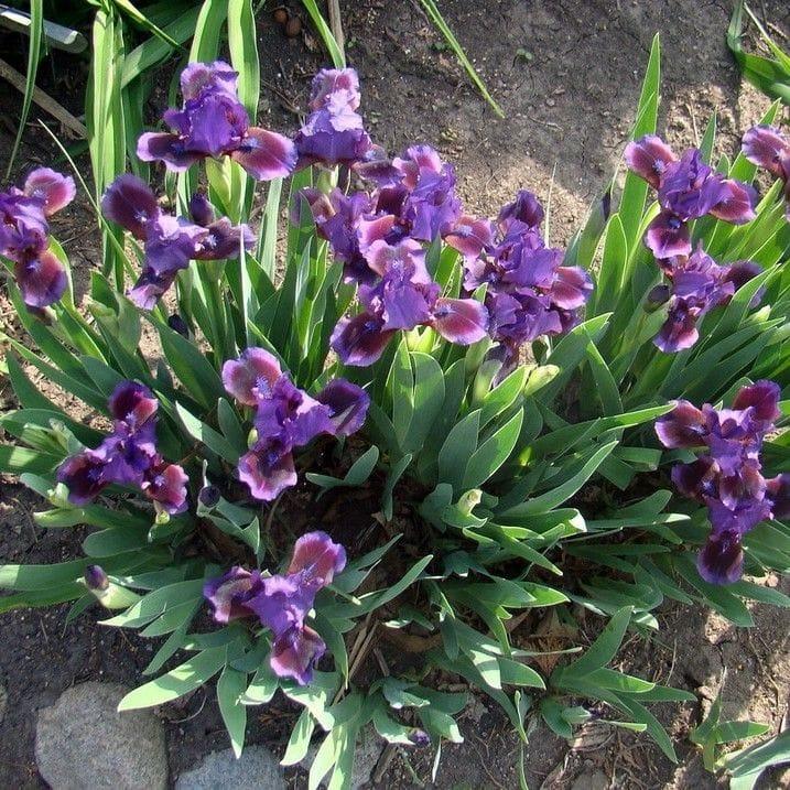 Iris 'Dwarf Bearded'
