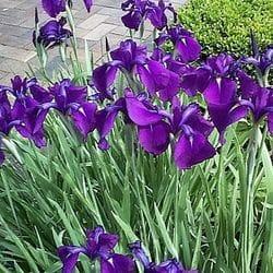 Iris 'Siberian'