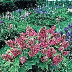 Ruby Slippers Oakleaf Hydrangea