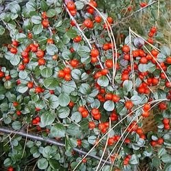 Early Cotoneaster