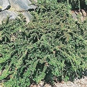 Rockspray Cotoneaster