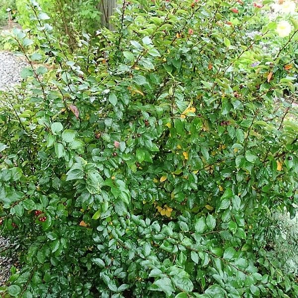 Peking Cotoneaster