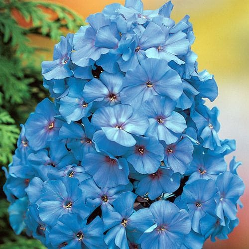 Summer Phlox 'Blue Boy'