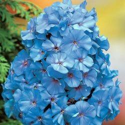 Summer Phlox 'Blue Boy'