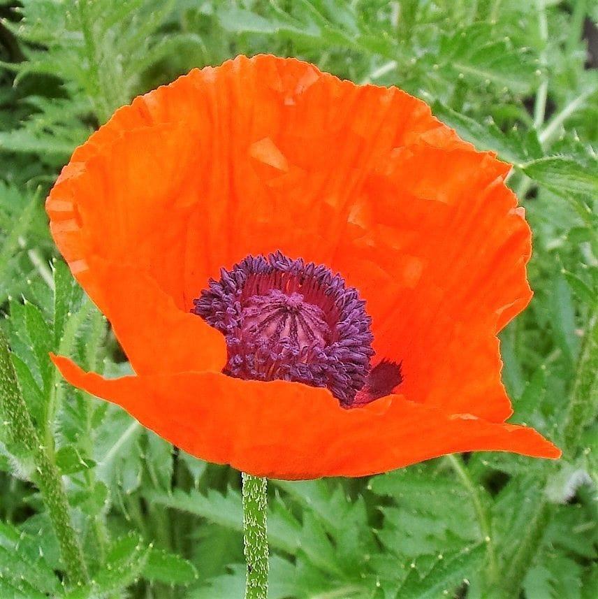Oriental Poppy 'Brilliant'