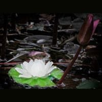 Floating Light Water Lily