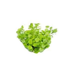 Micro - Watercress