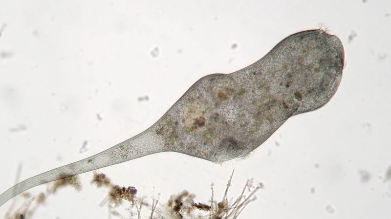 Tiny, giant Stentors are changing regenerative medicine