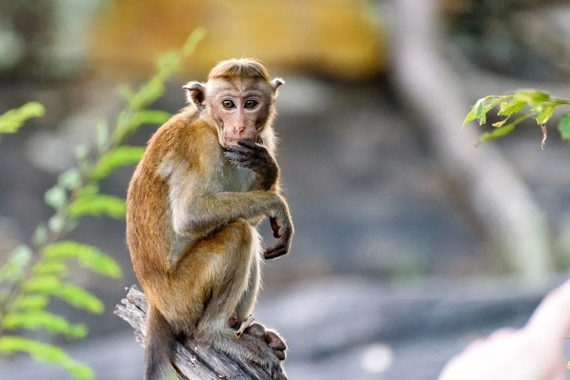 Serious Monkey Business: Stem Cells Are Improving Function in Paralyzed Primates