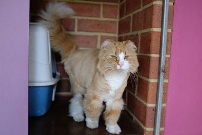 Clipped Cat Jules up in his bed area at Ashridge Cattery