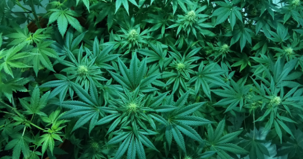 Cannabis in Oncology - Part 1