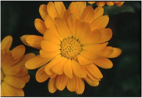Marigold (Calendula Officianalis)