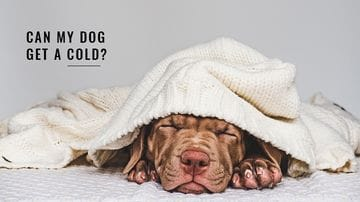 Can My Dog Get A Cold?