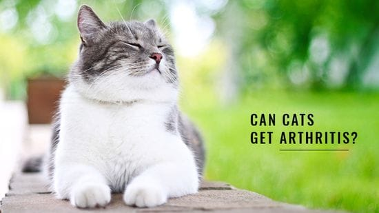 Can Cats Get Arthritis?