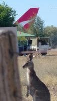Two Roos on the Outback Trek May 2009 (look again, there's definitely two!)