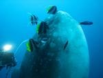 Sun Fish (Mola Mola)